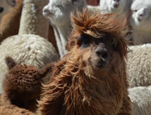 ABGESAGT: Die Heimat der Alpakas